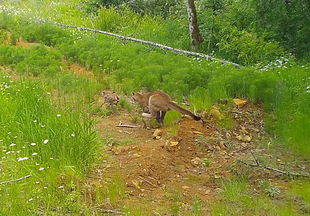 Click image for larger version  Name:cougar:fawn cropped.jpg Views:423 Size:184.9 KB ID:726665