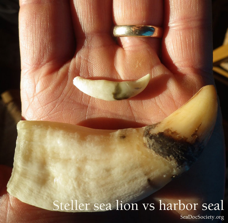 Click image for larger version  Name:Steller-and-Harbor-seal-canines-in-hand.jpg Views:160 Size:113.5 KB ID:754065