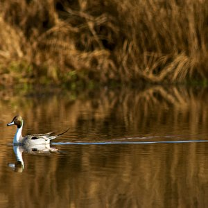 pintail duck reflection