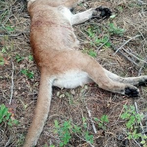 Cougar Laying