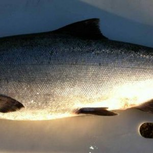 Biggest Tide water Chinook so far 2013 32Lbs