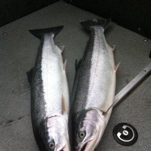 summer steelhead and ocean salmon 9