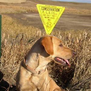 Sparky at a PLOTS hunting field in N. Dakota
