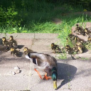 2012_duck_pictures_209