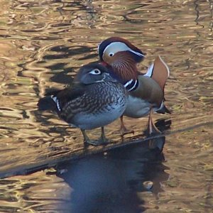 Mandarin_Wood_Ducks_118