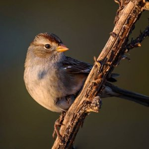 White_Crowned_Sparrow1