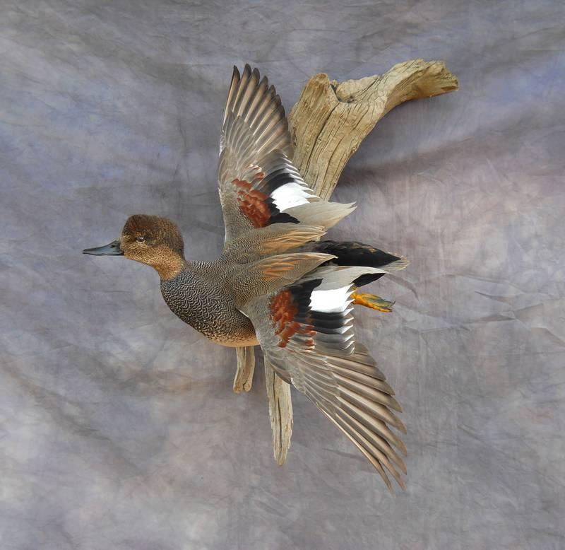 Gadwall duck mounts - photo#22